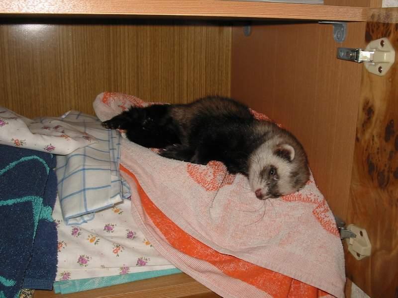 Хорек в домашних условиях с кошкой 306